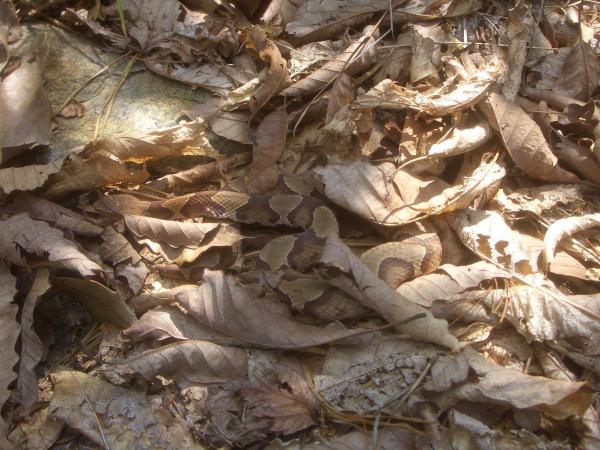 copperhead snake resized 600