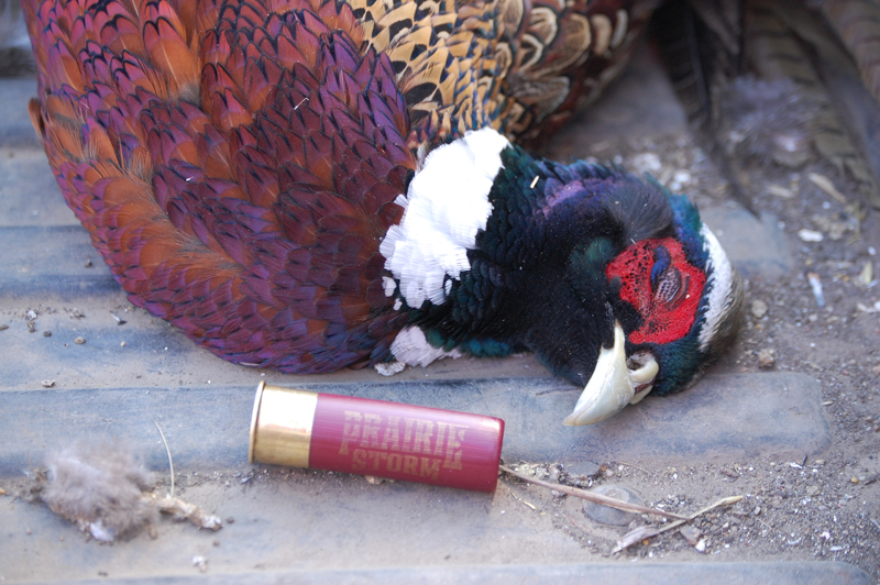 Pheasant-photo